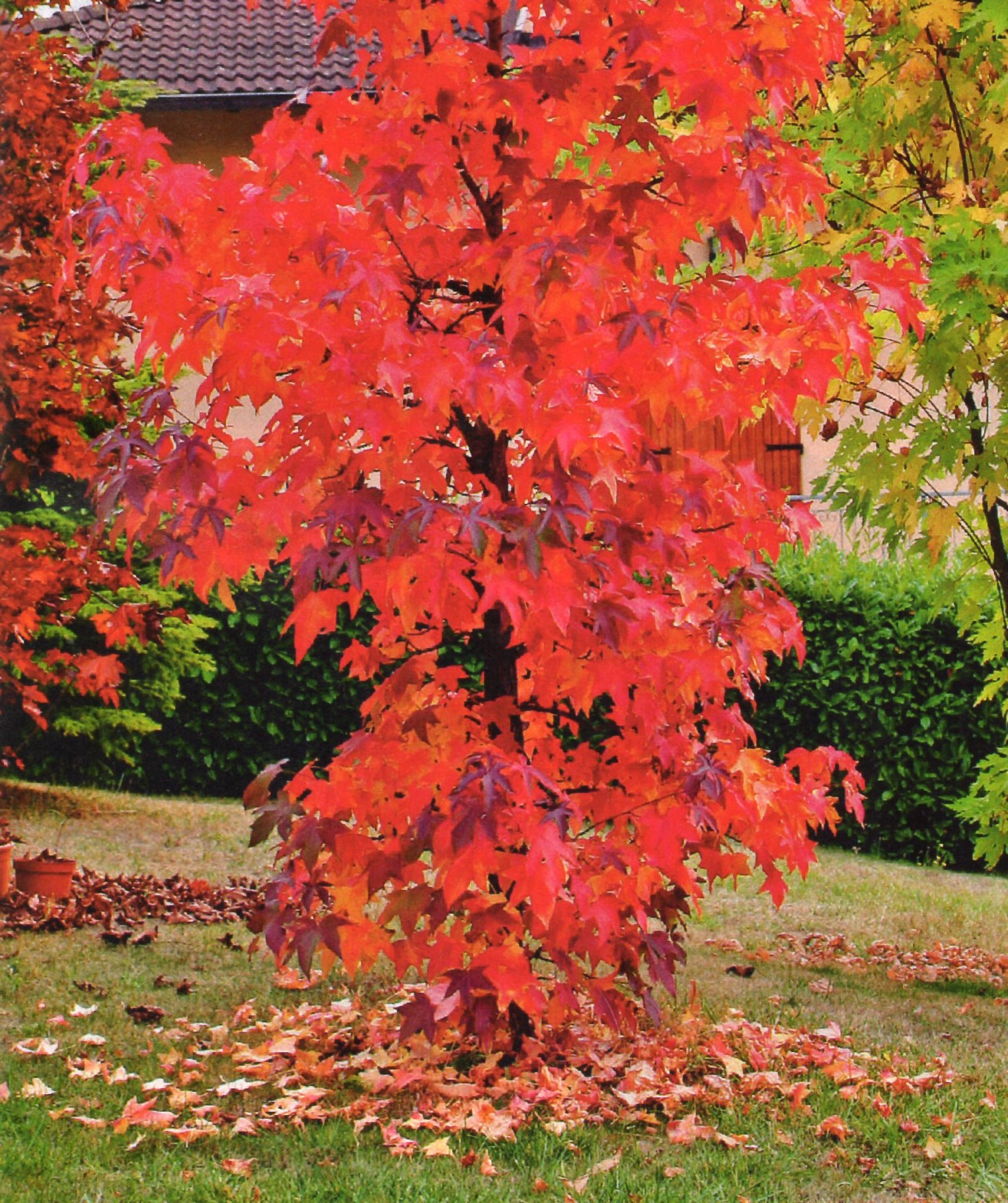Pianta Foglie Rosse E Verdi foglie rosse fuoco - vita trentina