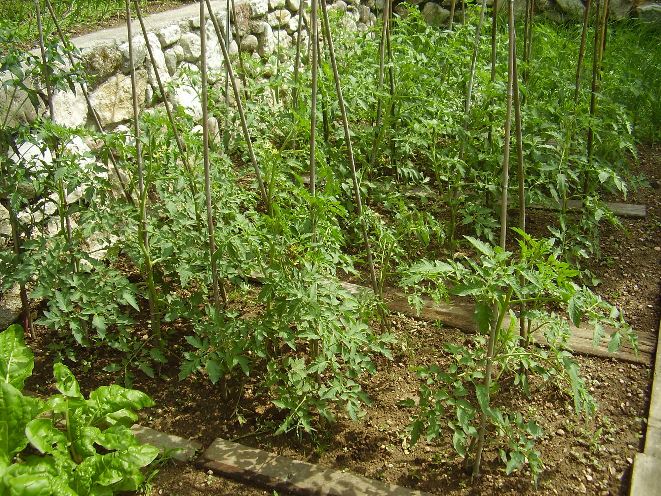 Pomodori trapiantati (Foto G. Michelon)