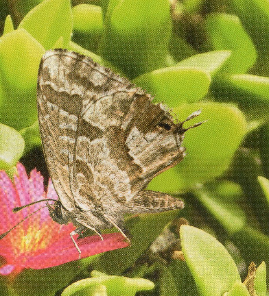 Farfallina del geranio