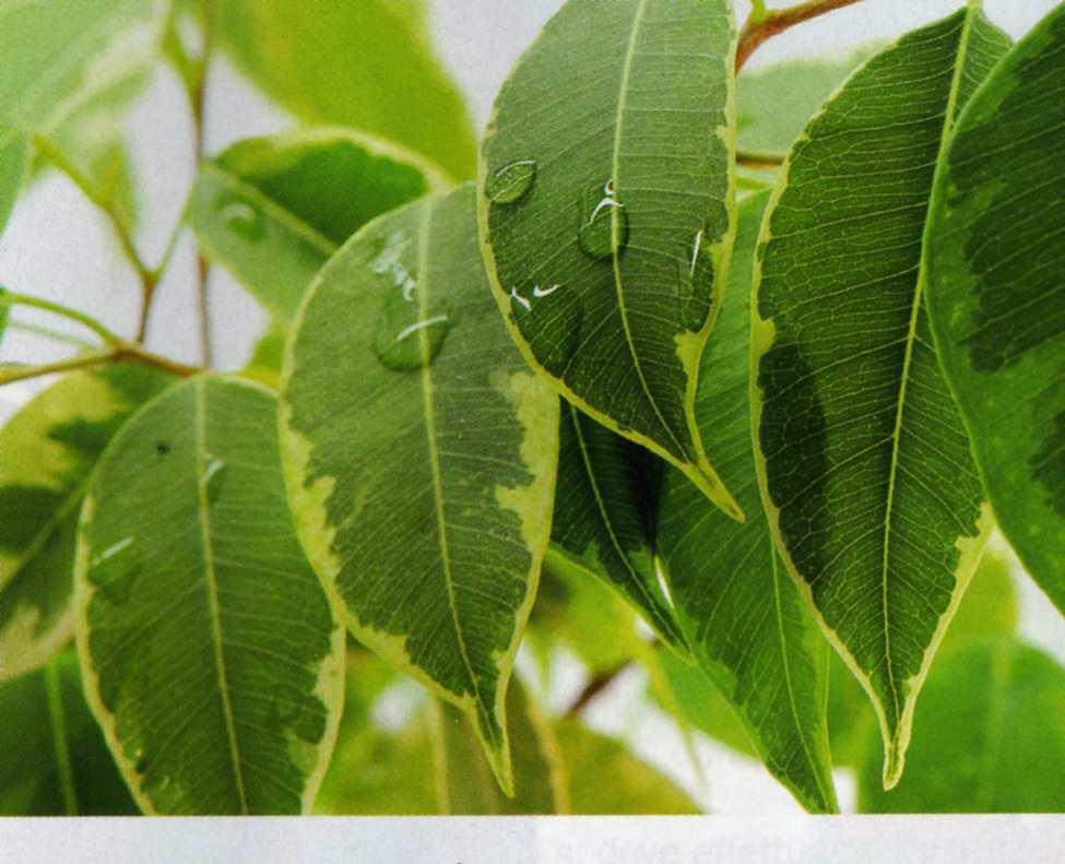 Ficus beniamin